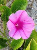 Morning Glory. A morning glory flower in the sand at a beach in Florida. Picture was taken in the summer Stock Images