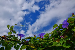 Morning glory flower sky background, Japan Royalty Free Stock Photo