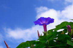 Morning glory flower sky background, Japan Royalty Free Stock Photos