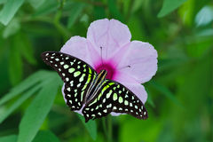 Morning Glory Flower. A Tailed Jay Butterfly (Graphium Agamemnon) on a Pink Morning Glory Flower royalty free stock images