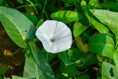 Morning glory flower. White flower of morning glory is blooming royalty free stock photos