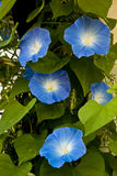 Morning glory flowers Royalty Free Stock Images