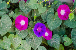Free Morning Glory Flowers Royalty Free Stock Photo - 33248245
