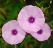 Morning glory flowers Stock Photography