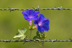 Morning Glory Flowers blooming on barbed wire and blurred background stock photo