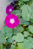 Morning glory. Flowers in blossom stock image