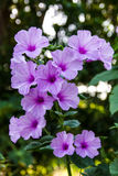 Morning Glory flowers bokeh. Morning Glory Flower Purple many large flowers which bloom background bokeh Royalty Free Stock Image