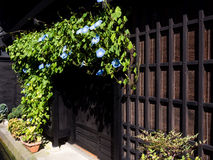 Morning glory flowers in front of an old Japanese house Royalty Free Stock Photos