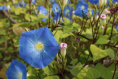 Morning Glory flowers Stock Photo