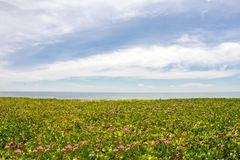 Morning glory flowers and leaves on the beach and sea background. Pink morning glory flowers on the beach and sea background Royalty Free Stock Photography