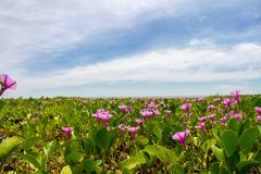 Morning glory flowers and leaves on the beach and sea background. Pink morning glory flowers on the beach and sea background Royalty Free Stock Photo