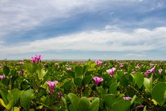 Pink morning glory flowers on the beach and sea background. Morning glory flowers and leaves on the beach and sea background Royalty Free Stock Image