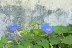 Morning glory flowers Stock Images