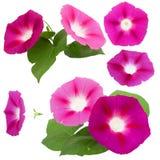Morning glory fresh pink flower, photo manipulation Stock Photography