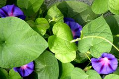 Morning Glory in garden 2. Nice flower blooming in the garden in mid spring. Image enchanting beauty of nature stock photos