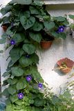 Morning Glory in garden. Nice flowers of Morning Glory blooming in the garden in mid spring. Image enchanting beauty of nature stock image