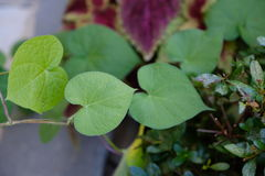 Morning glory. Greenish morning glory leaves in a garden Royalty Free Stock Images