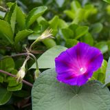 Morning glory. In the greens Stock Image