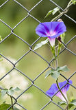 Morning glory. Growing up on a fence royalty free stock photo