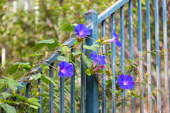 Morning Glory. The invasive morning glory plant attaches itself to a fence stock photos