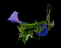 Morning glory Ipomea Royalty Free Stock Images