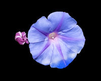 Morning glory Ipomea Royalty Free Stock Photography