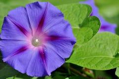 Morning glory, ipomea purpurea open flower. Royalty Free Stock Photos