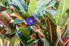 Morning Glory (Ipomoea purpurea). A single morning glory surrounded by tropical plants Royalty Free Stock Images