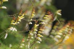 Morning glory mine lobato. Flowering vine morning glory mine lobato Royalty Free Stock Photos