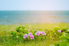 Morning glory. Blossom on blurred seascape background Royalty Free Stock Image