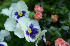Morning glory. Ipomoea nil flower Royalty Free Stock Images