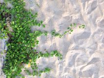 Morning glory plant on the beach Royalty Free Stock Photography