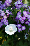 Morning Glory & Plox. A lovely specimen of Morning Glory (Calystegia sepium) in the morning sun and surrounded by Phlox paniculata (possibly the Hybrid, Italia royalty free stock image