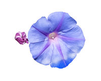 Morning glory purple flower Stock Images