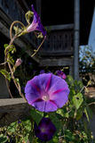 Morning glory purple flower, rural scene in home garden royalty free stock photos