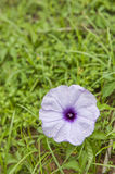 Morning Glory Royalty Free Stock Photography