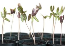 Morning Glory Seedlings Stock Images