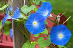 Morning Glory. Sky blue morning glory growing alongside an outdoor wooden swing stock photography