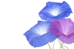 Morning glory Stock Images