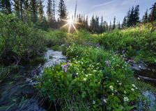 Morning Glory. Sunshine lights the tops of wildflowers in the Oregon Cascades near Blair Lake Royalty Free Stock Image