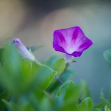 Morning glory in the sunshine. Yard Stock Photos