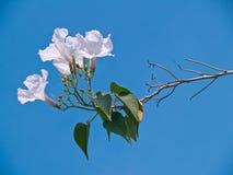 Morning Glory Tree Stock Photo