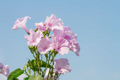 Morning Glory Tree or Ipomoea carnea flowers Royalty Free Stock Photos