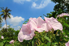 Morning Glory Tree or Ipomoea carnea flowers Stock Photography