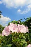 Morning Glory Tree or Ipomoea carnea flowers Stock Image