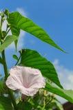 Morning Glory Tree or Ipomoea carnea flowers Stock Photo