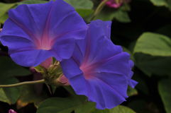 Intense blue morning glory flowers Royalty Free Stock Photo