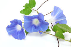 Morning glory in a white background. Pictured  morning glory in a white background Royalty Free Stock Photos
