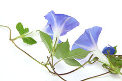 Morning glory in a white background. Pictured  morning glory in a white background Royalty Free Stock Photography