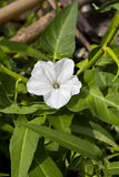 Morning glory or White dwarf morning glory in garden. stock image